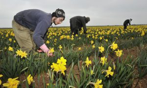 Migrants work in a field of daffodils at Nocton farm in Lincolnshire. Photograph: Bruce Adams/Associated Newspapers